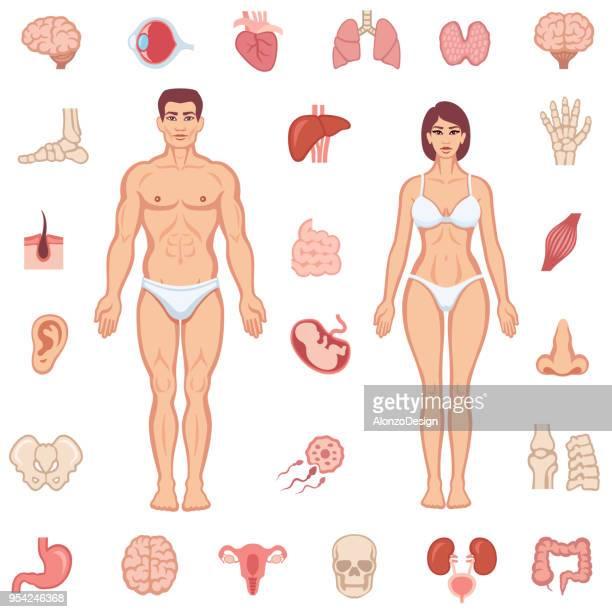anatomie des menschlichen körpers - menschliches körperteil stock-grafiken, -clipart, -cartoons und -symbole