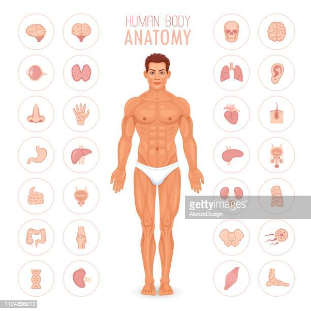 human body and internal organs - human body part stock illustrations