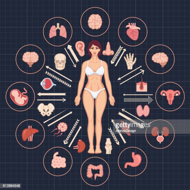 human body and internal organs - the human body stock illustrations