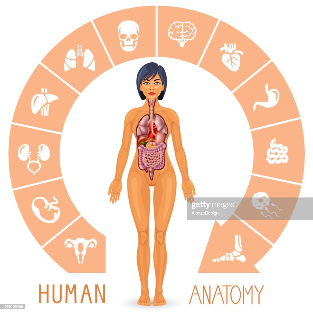 Menschlichen Körper Und Die Inneren Organe Vektorgrafik | Getty Images