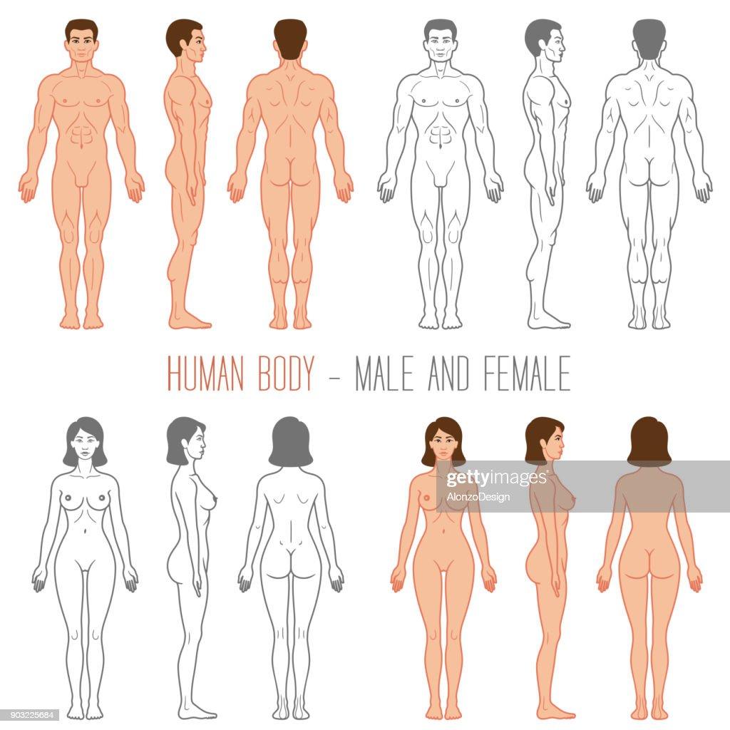 Hembra y macho de cuerpo humano : Ilustración de stock