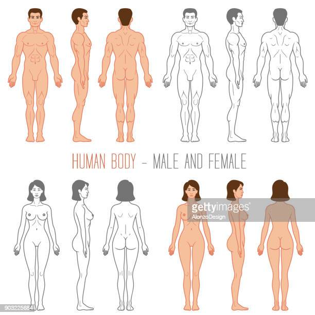 human body male and female - anatomy stock illustrations