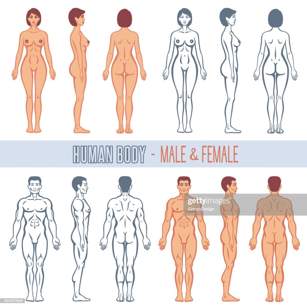 Human Body Male And Female Vector Art Getty Images