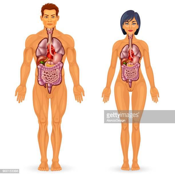 Menschlichen Körper Organe Anatomie