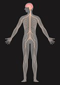 human body silhouette and nervous system