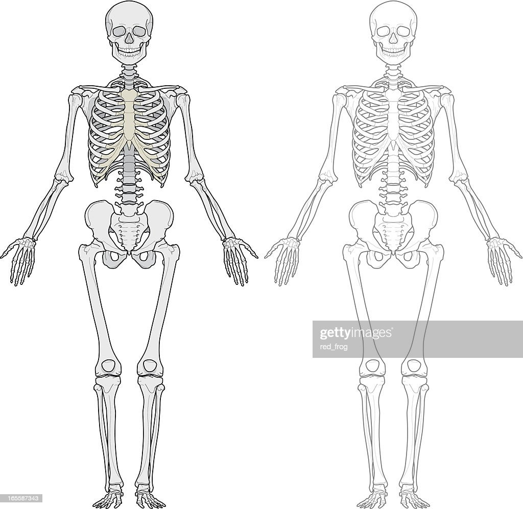Human Skeleton Stock Illustrations And Cartoons | Getty Images
