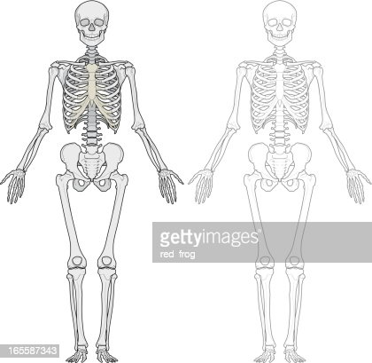 Human Body Skeleton Vector Art Getty Images
