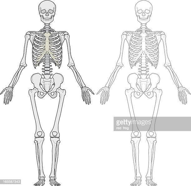 ilustraciones, imágenes clip art, dibujos animados e iconos de stock de cuerpo humano, esqueleto - esqueleto humano
