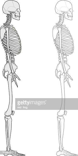 Menschlichen Körper, skeleton