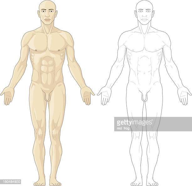 ilustraciones, imágenes clip art, dibujos animados e iconos de stock de cuerpo humano - músculo humano