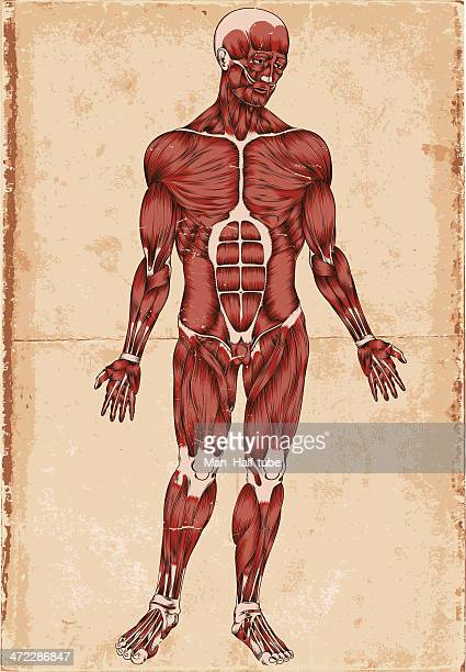 human body - anatomical model stock illustrations, clip art, cartoons, & icons
