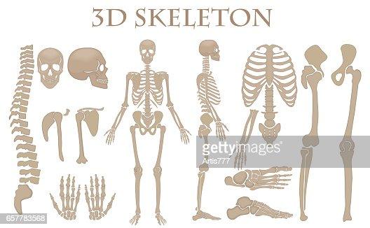 Human Bones 3d Realistic Vector Skeleton Silhouette