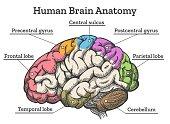 Human brain anatomy diagram