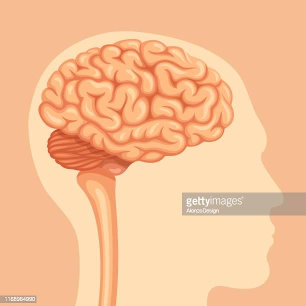 ilustraciones, imágenes clip art, dibujos animados e iconos de stock de anatomía del cerebro humano - modelos del cuerpo humano