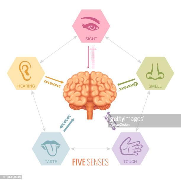 human brain and sensory perception - receptor stock illustrations
