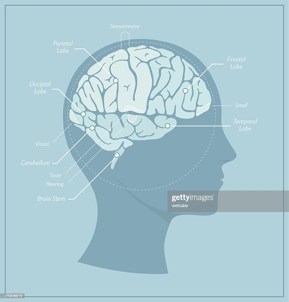 Human Brain Diagram Vector Art | Getty Images