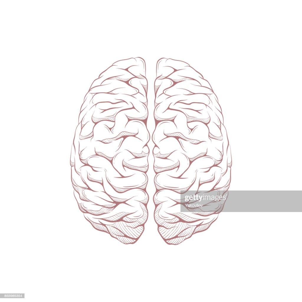 Human Brain Right And Left Hemisphere Illustration Hand Drawn Vector ...