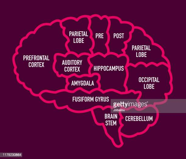 human brain section diagram with names - brain stock illustrations