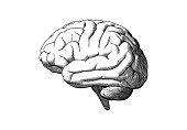 Human brain side view drawing illustration on white BG