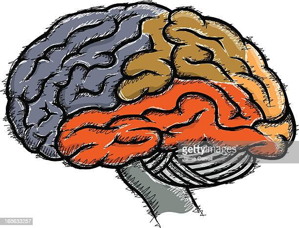 human brain sketch - temporal lobe stock illustrations, clip art, cartoons, & icons