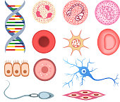 Human Cells DNA bone cell neuron neural nerve sperm ovum