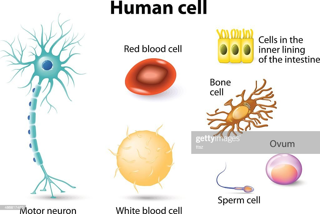 Menschliche Zelle Vektorgrafik | Getty Images