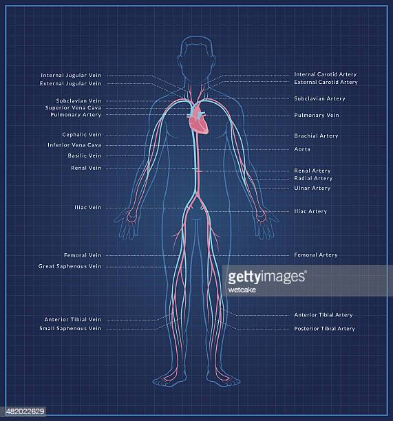 human circulatory system - the human body stock illustrations