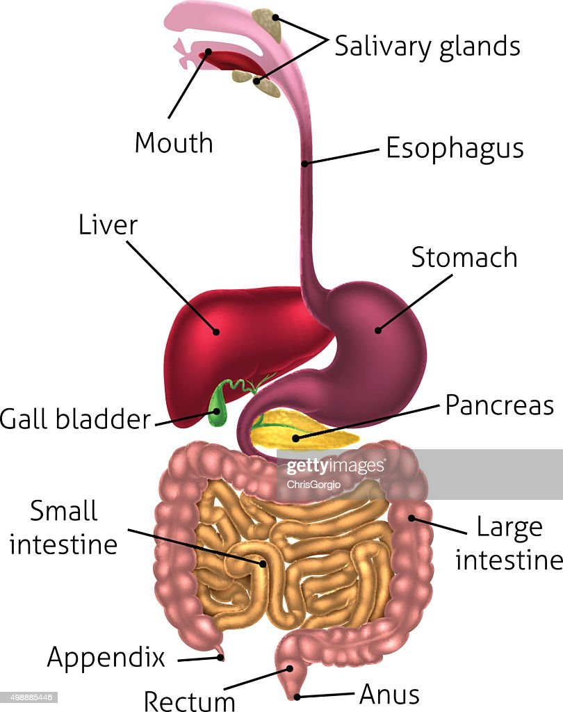 Human Digestive Tract System