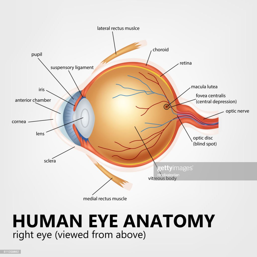 Human eye anatomy, right eye viewed from above