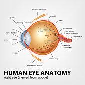 Human eye anatomy, right eye viewed from above