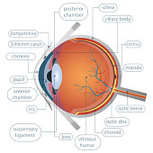 Human eye anatomy vector design