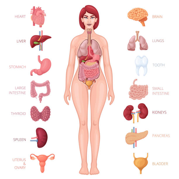 human female body with internal organs - human body part stock illustrations