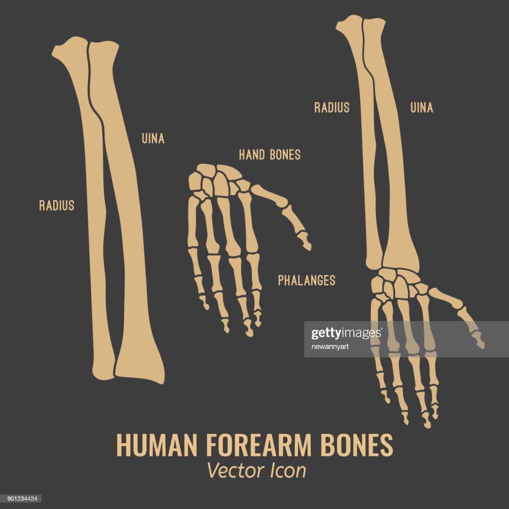 Human forearm bones icons