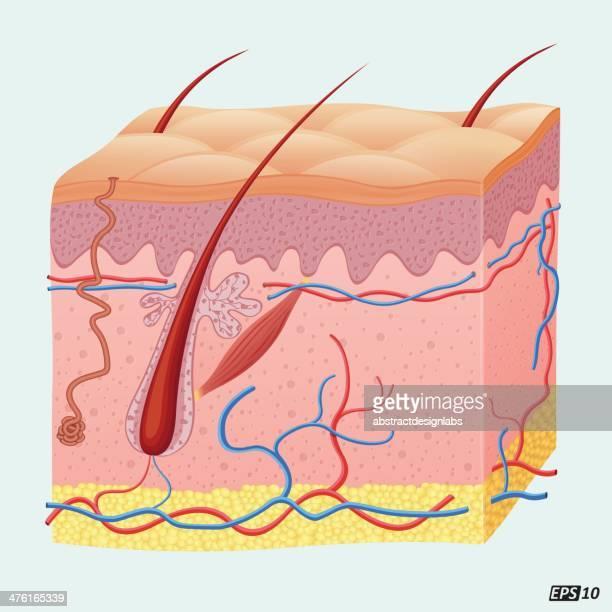 Human Hair Follicle