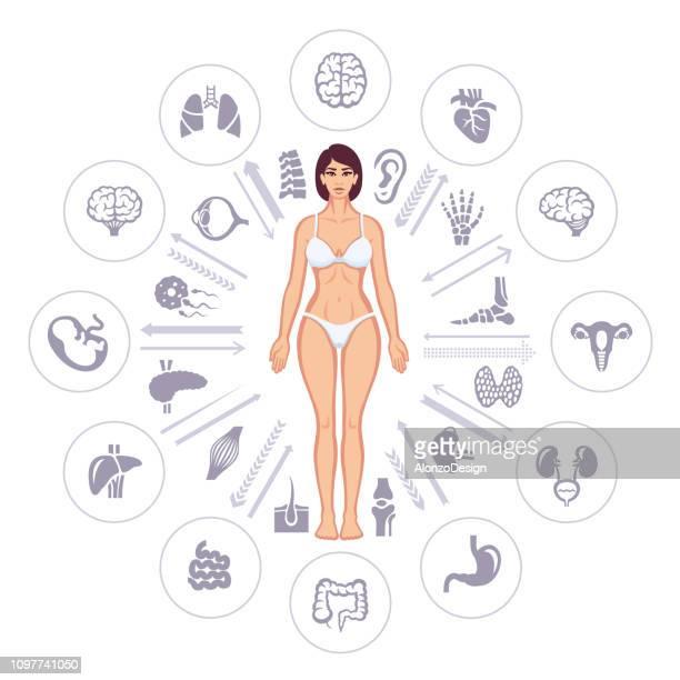 illustrations, cliparts, dessins animés et icônes de la santé humaine des éléments infographiques - organe interne humain