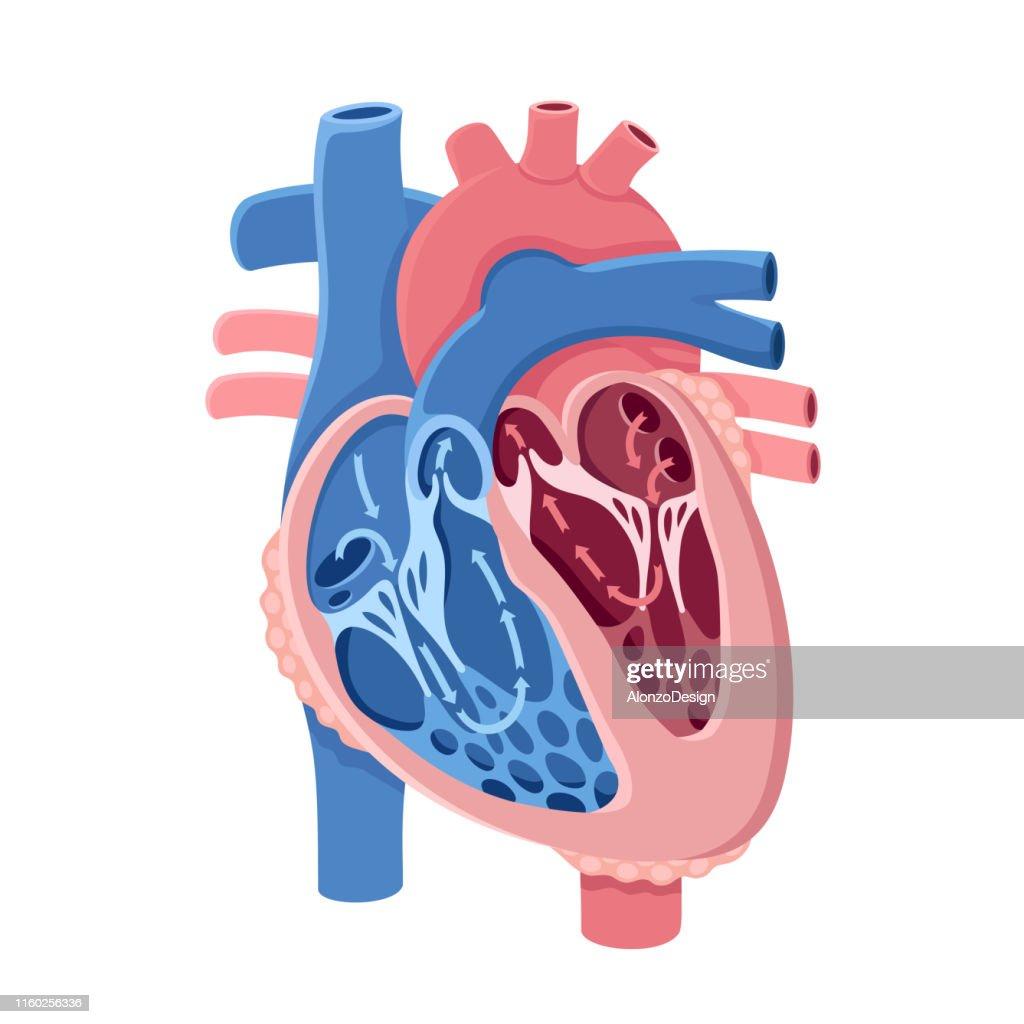 Anatomie Du Cœur Humain Circulation Illustration Getty Images