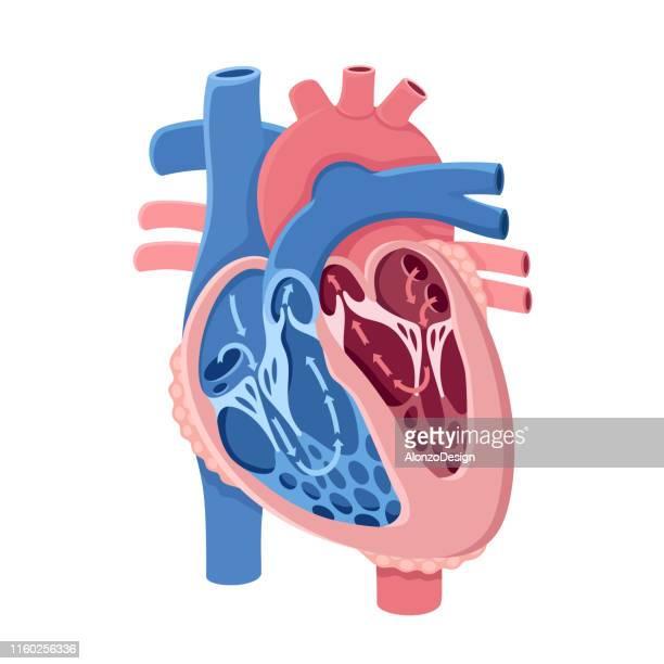 ilustraciones, imágenes clip art, dibujos animados e iconos de stock de anatomía del corazón humano. flujo sanguíneo - parte del cuerpo animal