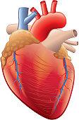 Human heart anatomy isolated on white vector