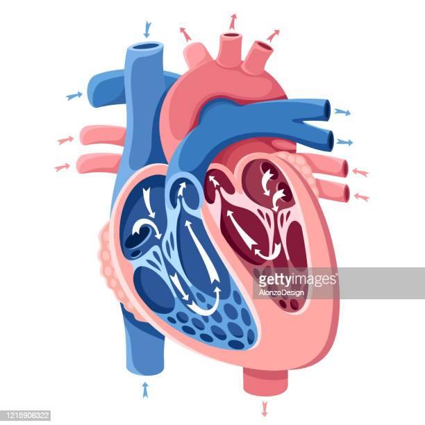 human heart anatomy - heart ventricle stock illustrations