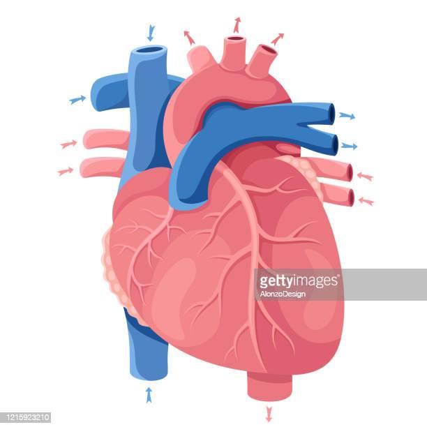 human heart. anatomy - artery stock illustrations