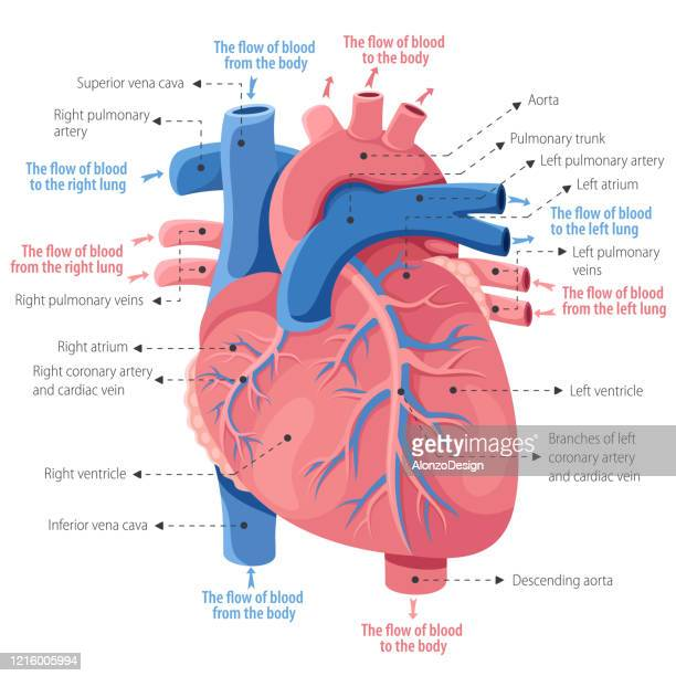 human heart anatomy - blood flow stock illustrations