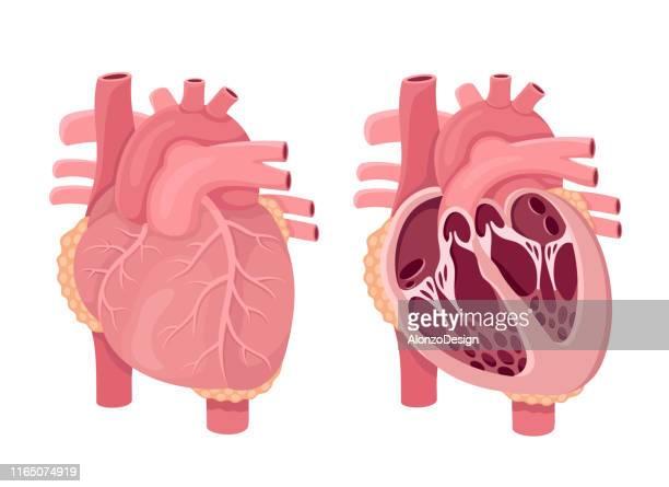 human heart anatomy vector. - heart ventricle stock illustrations