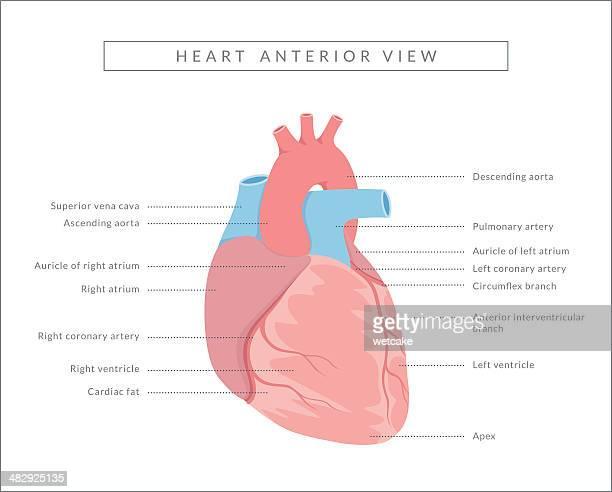 human heart anterior view - artery stock illustrations