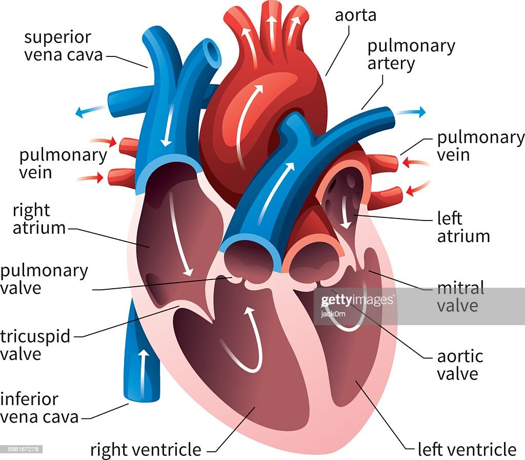 Cartoon Internal Heart Diagram Diy Enthusiasts Wiring Diagrams