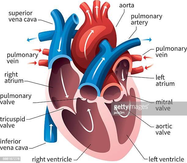 ilustrações, clipart, desenhos animados e ícones de human heart circulatory system - termo anatômico
