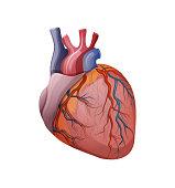human heart. vector. cardiology
