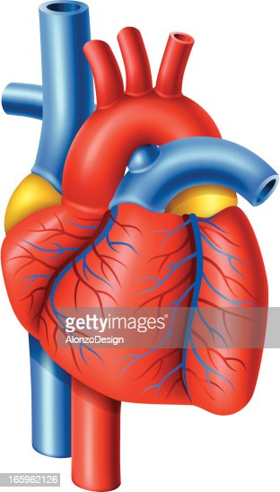 Human Heart High-res Vector Graphic