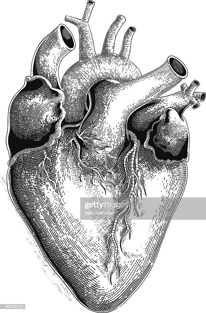 Human heart (vector) : Stock Illustration