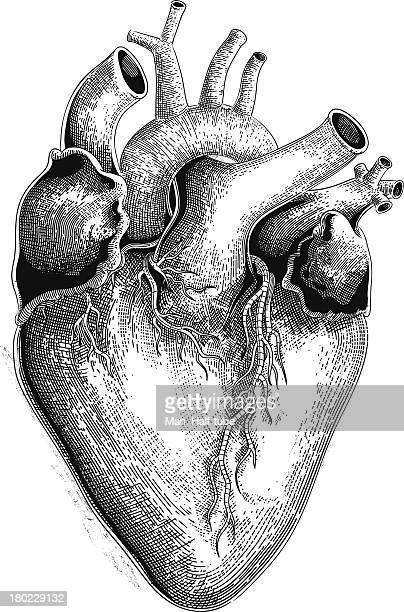 human heart (vector) - anatomy stock illustrations