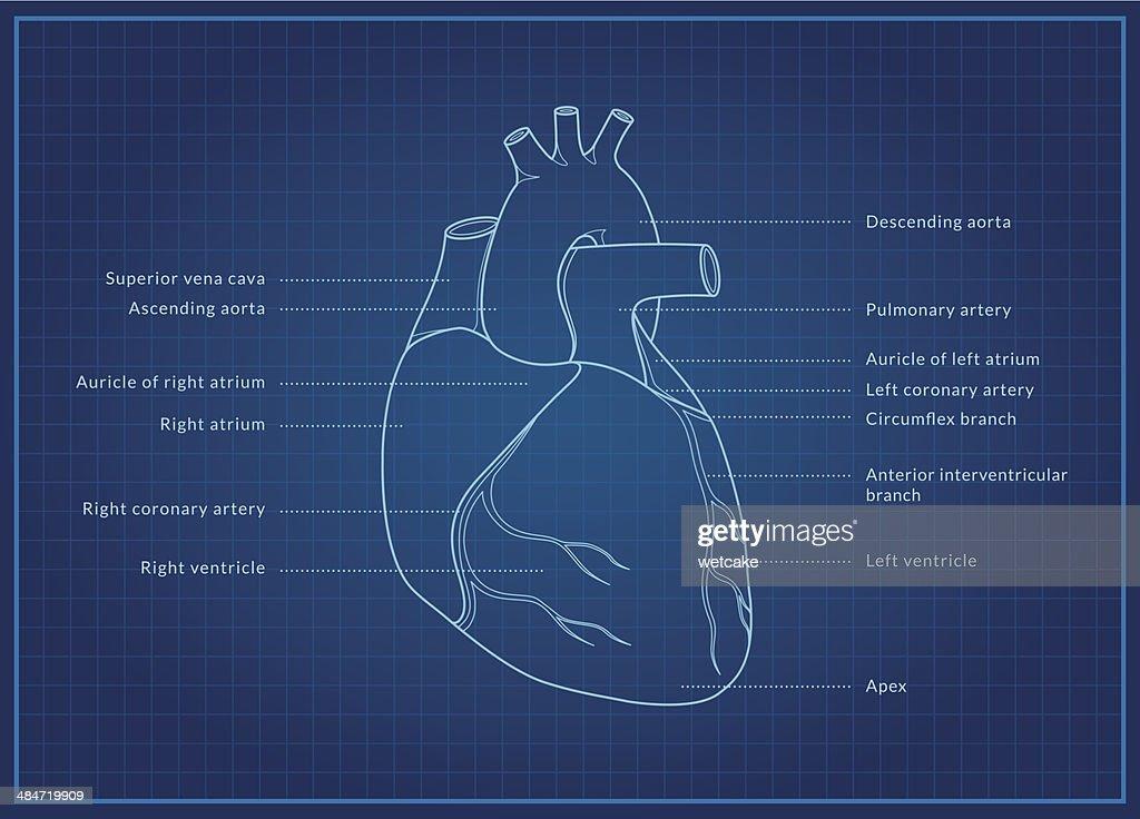 Corazón humano : Ilustración de stock